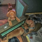 Vizsla puppies born 11/15/2018 http://ohioweims.com/blog/